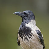 Hooded Crow (Corvus cornix) Stock Images
