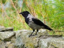 Hooded Crow (Corvus cornix). Close-up of a Hooded Crow perched on a wall Stock Image