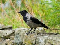 Hooded Crow (Corvus cornix) Stock Image