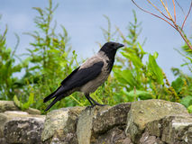 Hooded Crow (Corvus cornix). Close-up of a Hooded Crow perched on a wall Stock Images