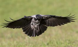 A hooded crow in flight in the city park of Berlin. In the daytime with in the background trees and grass. A hooded crow Corvus cornix in flight in the city royalty free stock image
