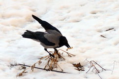 Hooded crow Corvus cornix forages in snow, Buchare Royalty Free Stock Images