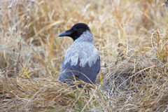 Hooded Crow Corvus cornix on the grass Royalty Free Stock Photos