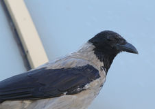 Hooded Crow (Corvus cornix) Grey Corvid Bird Head Hoodiecrow Corbie Stock Image