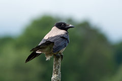 Hooded Crow (Corvus cornix). The Hooded Crow (Corvus cornix) or Grey Crow among many names is an ashy grey bird with black head, throat, wings, tail and thigh stock photos