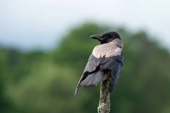 Hooded/Grey Crow (Corvus cornix). The Hooded Crow (Corvus cornix) or Grey Crow among many names is an ashy grey bird with black head, throat, wings, tail and stock photo