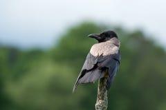 Hooded/Grey Crow (Corvus cornix) Stock Photo