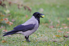 Hooded Crow (Corvus Cornix). Stock Images