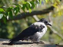 A hooded crow or Corvus Cornix Stock Image
