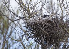 Hooded Crow (Corvus Cornix) inside nest Royalty Free Stock Photography