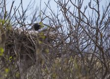 Hooded Crow (Corvus Cornix) inside nest Stock Photos