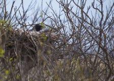 Hooded Crow (Corvus Cornix) inside nest Stock Photos