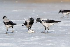 Hooded Crow Corvus cornix. Hooded Crow Corvus cornix in nature Stock Photo