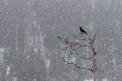 Hooded Crow (Corvus cornix) royalty free stock image