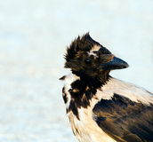 Hooded Crow (Corvus cornix) portrait Stock Photos