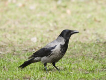 Hooded Crow, Corvus Cornix, portrait in spring grass, shallow DOF, selective focus Royalty Free Stock Photography
