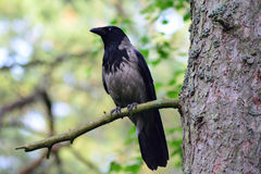 Hooded crow. Corvus cornix sitting on pine branch. Grey and black colored bird. Known also as grey crow Stock Photo