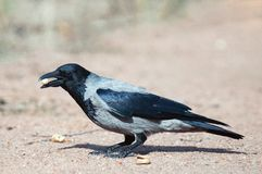 Hooded Crow Corvus cornix stands on the ground with peanuts in its beak royalty free stock photography