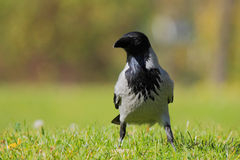 Hooded Crow (Corvus Cornix). Royalty Free Stock Photography