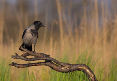 Hooded crow - Corvus cornix Royalty Free Stock Photography