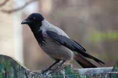 Hooded crow (Corvus cornix). Stock Photos