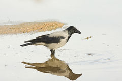 Hooded crow / Corvus corone cornix Royalty Free Stock Images