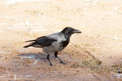 Hooded crow ( Corvus corone cornix ) Royalty Free Stock Photos