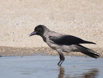 Hooded crow,  Corvus corone cornix Stock Image