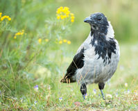 Hooded Crow - Corvus corone cornix. The hooded crow is a Eurasian bird species in the Corvus genus. Widely distributed, it is also known locally as Scotch crow Royalty Free Stock Photo