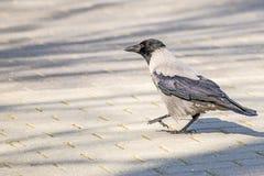 Hooded crow ,Corvus corone cornix L. Royalty Free Stock Photography