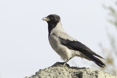 Hooded Crow (Corvus corone cornix) Royalty Free Stock Photos