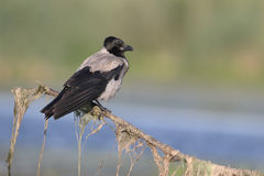Hooded crow, Corvus corone cornix Royalty Free Stock Images