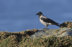 Hooded crow, Corvus corone cornix Stock Photography