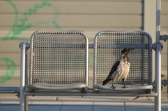 Hooded Crow / Danish Crow / Scotch Crow (Corvus Cornix) On Chair Stock Photos