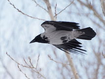 Hooded crow in flight Royalty Free Stock Image
