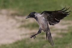 A hooded crow in flight in the city park of Berlin. In the daytime with in the background trees and gras. A hooded crow Corvus cornix in flight in the city park royalty free stock photo
