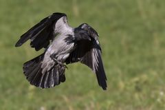 A hooded crow in flight in the city park of Berlin. In the daytime with in the background trees and gras. A hooded crow Corvus cornix in flight in the city park stock image