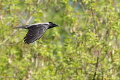 Hooded crow in flight. Green background stock photos