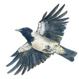 The hooded crow in flight. Watercolor hand drawn illustration. The hooded crow in flight. Watercolor hand drawn illustration isolated on white background stock illustration