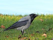 Hooded crow  on the grass Stock Photography