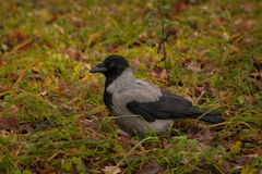 Hooded crow on the grass Royalty Free Stock Photo