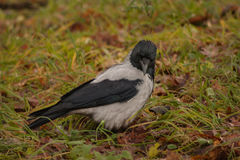 Hooded crow on the grass Royalty Free Stock Images