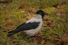 Hooded crow on the grass Royalty Free Stock Image