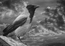 Hooded crow. Royalty Free Stock Photography