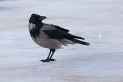 Hooded Crow on ice Royalty Free Stock Photography