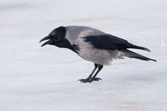 Hooded Crow on ice Royalty Free Stock Image