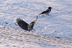 Hooded crow lands Royalty Free Stock Image