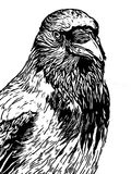 Hooded crow line art woodcut type illustration. In black with white background Royalty Free Stock Photo