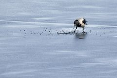 Hooded crow looking for food on ice of frozen lake Royalty Free Stock Images