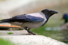Hooded crow near the lake Stock Image